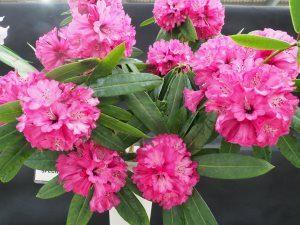Rhododendron onthospaerum
