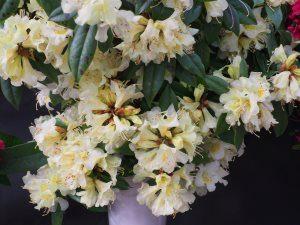 Rhododendron bahuiniflorum