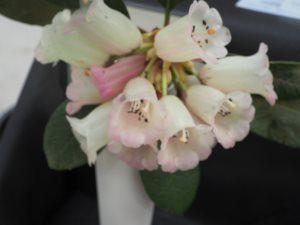 Rhododendron eximium