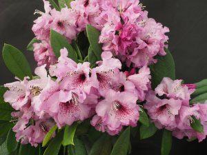 Rhododendron floribundum