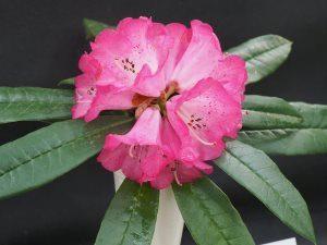 Rhododendron lukingense