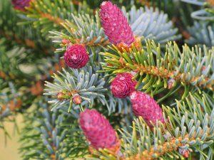 Picea bicolor var. acicularis
