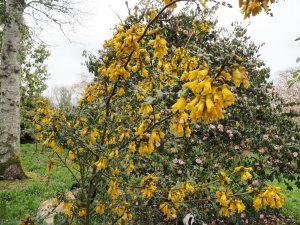 Sophora japonica 'Sun King'