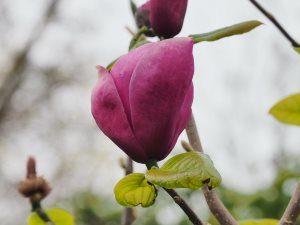 Magnolia 'Rose Marie' x 'Black Tulip'
