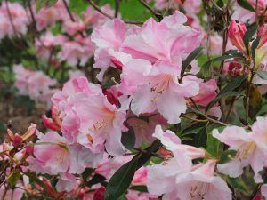 Rhododendron 'Ann Teese'