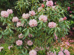 Rhododendron irroratum 'Polka Dot'