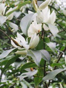 Magnolia (Michelia) platypetala