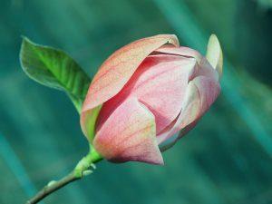 Magnolia 'Royal Splendour'