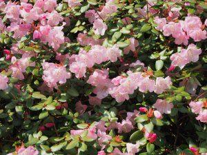 Rhododendron williamsianum x martinianum