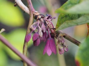 Holboellia latifolia subsp. chartacea