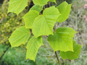 Acer tegmentosum 'Joe Witt'