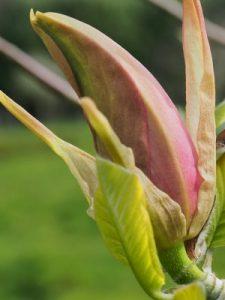 """Magnolia """"Peaches 'n' Cream"""""""