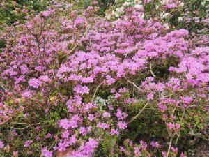 FJW's azalea hybrids