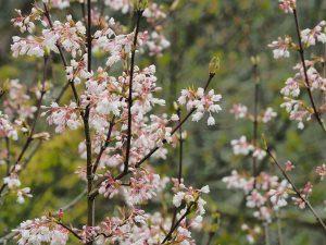 Staphylea colchica 'Innocence'