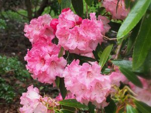 huge 'blowsy' rhododendrons