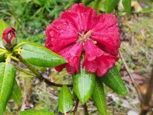 Rhododendron mengtszense