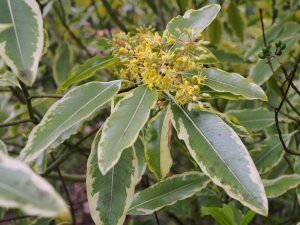 Pittosporum eugenoides 'Variegatum'
