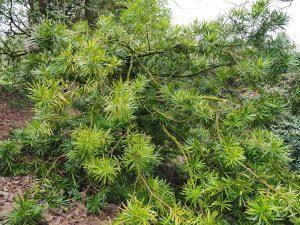 Podocarpus macrophyllus 'Aureus'