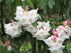 Rhododendron moorei