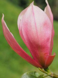 Magnolia 'Pink Royalty' x 'Daybreak'