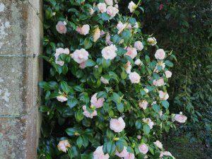 Camellia 'Tricolor'