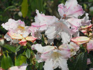 Rhododendron 'Fragrantissimum'