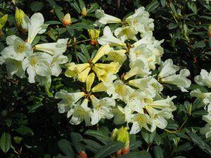 Rhododendron 'Michael's Pride