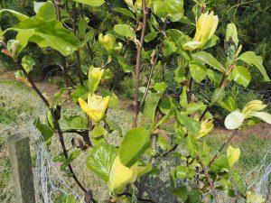 Magnolia 'Green Bee'