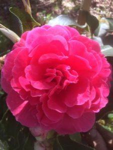 Camellia reticulata 'Lary Piet'