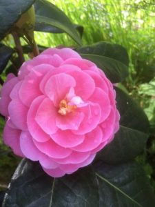 Camellia reticulata 'Lovely Lady'