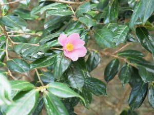 Camellia 'Mary Jobson' (first out January)