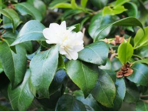 Camellia 'Noblissima' (first out November)