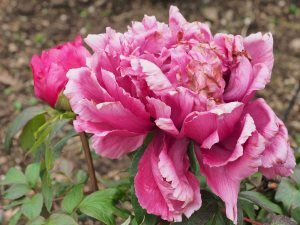 Paeonia 'Duchess of Kent'