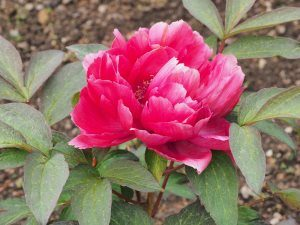 Paeonia 'Superb'