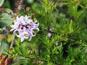 Syringa species