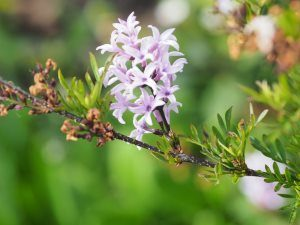 Syringa species