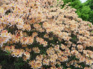 Azalea 'Crocea Tricolor'