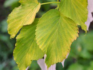 Davidia involucrata var. vilmorimana 'Golden Birr'