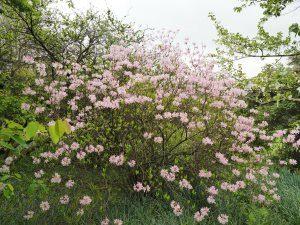 Rhododendron pentaphyllum
