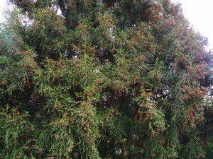 Athrotaxis laxifolia