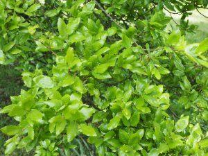 Quercus libanerris