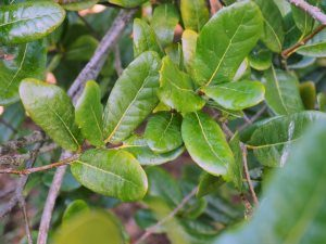 Quercus rhederiana