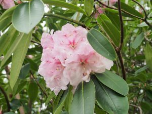 Rhododendron loderi 'Coral Pink'