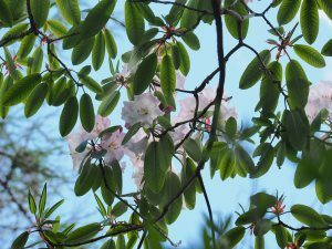 Rhododendron loderi 'Fairy Queen' (griffithianum x fortunei ssp. fortunei)