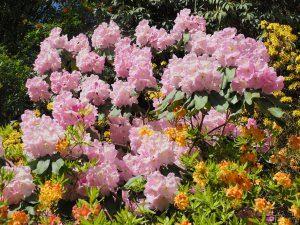 Rhododendron loderi 'Georgette'