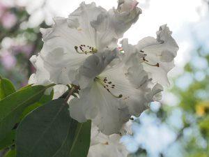 Rhododendron 'Jubilee Queen' (loderi 'Venus' x Rose du Barri – 1935)