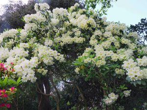 Rhododendron 'Leonardslee Primrose'