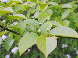 Stewartia pseudocamellia var. koreana