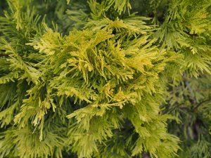 Calocedrus decurrens 'Burma Gold'