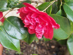 Camellia 'Bella Lambertii'